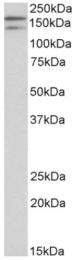AP32931PU-N - Dual oxidase 1