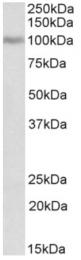 AP32932PU-N - Periostin