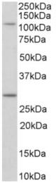 AP32953PU-N - Myosin-1H