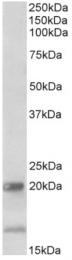 AP32954PU-N - Interleukin-17B / IL17B