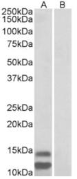 AP32957PU-N - CDKN2B / p15INK4b