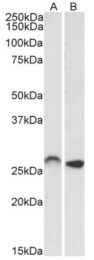 AP32958PU-N - HOXC6 / HOX3C