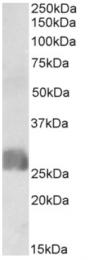 AP32961PU-N - CREB3L2