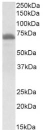 AP32966PU-N - Tyrosine-protein kinase ITK/TSK