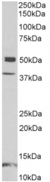 AP32971PU-N - Neuronal pentraxin-1