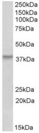 AP32972PU-N - HOXA10 / HOX1H