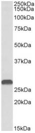 AP32974PU-N - HOXA5 / HOX1C