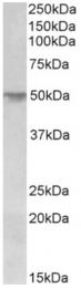 AP33124PU-N - Corneodesmosin / CDSN