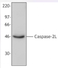 AP33133PU-N - Caspase-2