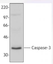 AP33134PU-N - Caspase-3