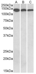 AP33162PU-N - Contactin-1