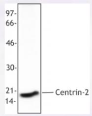 AP33177PU-S - Centrin-2