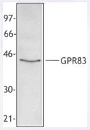 AP33180PU-S - GPR83 / GPR72