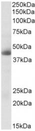 AP33198PU-N - Carbonic anhydrase 12