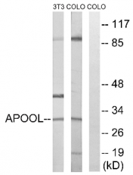 AP33218PU-N - Apolipoprotein O-like / APOOL