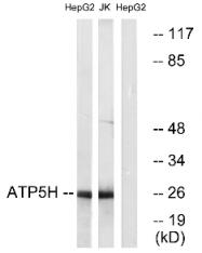 AP33219PU-N - ATP synthase subunit d