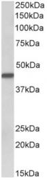 AP33232PU-N - Cytokeratin 19