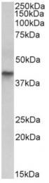 AP33236PU-N - Cytokeratin 19
