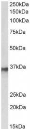AP33243PU-N - hnRNP-A2/B1 / HNRNPA2B1