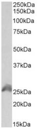AP33247PU-N - HOXB6 / HOX2B