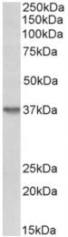 AP33250PU-N - CD138 / Syndecan-1