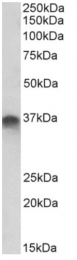 AP33253PU-N - Syntaxin 11 / STX11