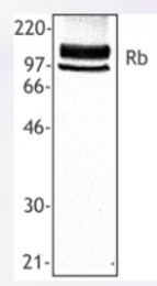 AP33257PU-N - Retinoblastoma-associated protein / RB1