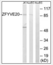 AP33276PU-N - Rabenosyn-5 / ZFYVE20