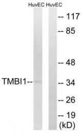 AP33285PU-N - TMBIM1 / RECS1