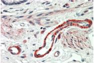 AP33294PU-N - Thrombospondin-3 (THBS3)