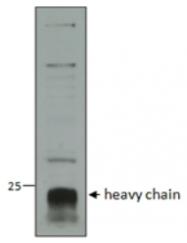 AP33298PU-N - Cathepsin C