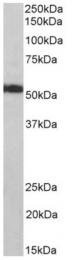 AP33309PU-N - ATP synthase subunit alpha
