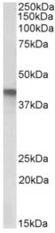 AP33313PU-N - SERPINB1
