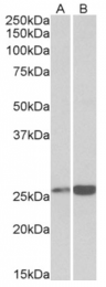 AP33317PU-N - Peroxiredoxin-6 / PRDX6