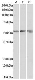 AP33345PU-N - ATP synthase subunit beta