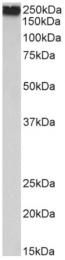 AP33350PU-N - Filamin-A