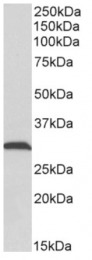 AP33359PU-N - ATP synthase subunit gamma