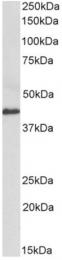 AP33378PU-N - Fractalkine / CX3CL1
