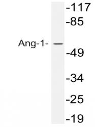 AP33394PU-N - Angiopoietin-1