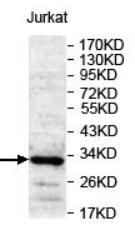 AP33397PU-N - CD47