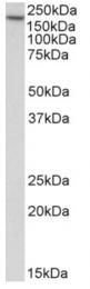 AP33431PU-N - Early endosome antigen 1