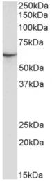 AP33432PU-N - STXBP3 / UNC18C