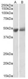 AP33442PU-N - SERPINF1 / PEDF