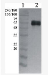 AP33455PU-N - GFRA1 / GDNFR-alpha
