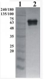 AP33456PU-N - GFRA2 / GDNFR-beta