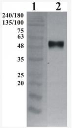 AP33457PU-N - GFRA3 / GDNFR-alpha 3