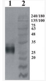 AP33458PU-N - GFRA4 / GDNFR-alpha 4