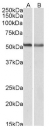 AP33468PU-N - Cannabinoid receptor 1