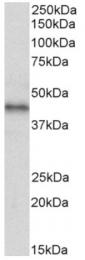 AP33489PU-N - CXCR7 / GPR159