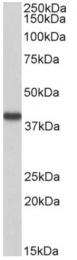 AP33508PU-N - Hydroxyacid oxidase 2 / HAOX2